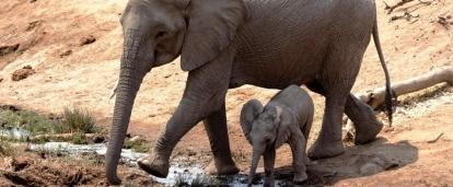 As a Projects Abroad volunteer in Botswana, elephants will be a regular site during volunteer work.